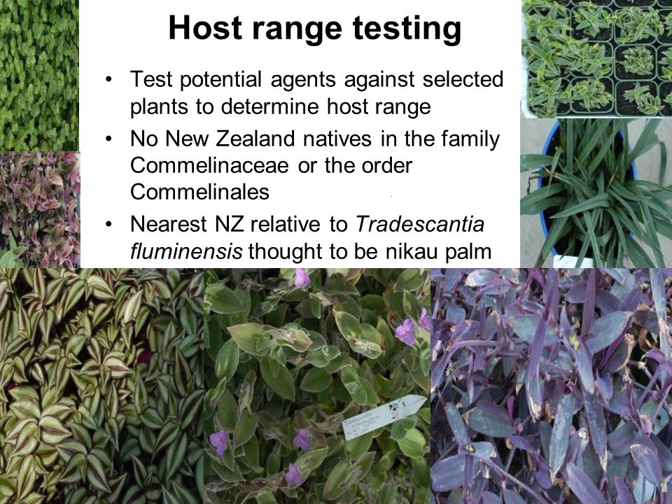Host range testing Test potential agents against selected plants to determine host range.