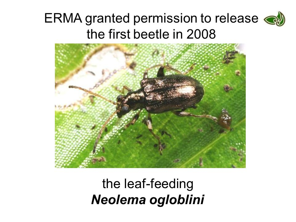 ERMA granted permission to release the first beetle in 2008