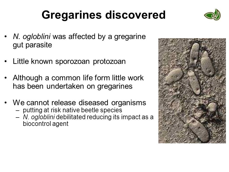 Gregarines discovered