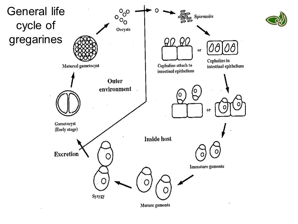 General life cycle of gregarines