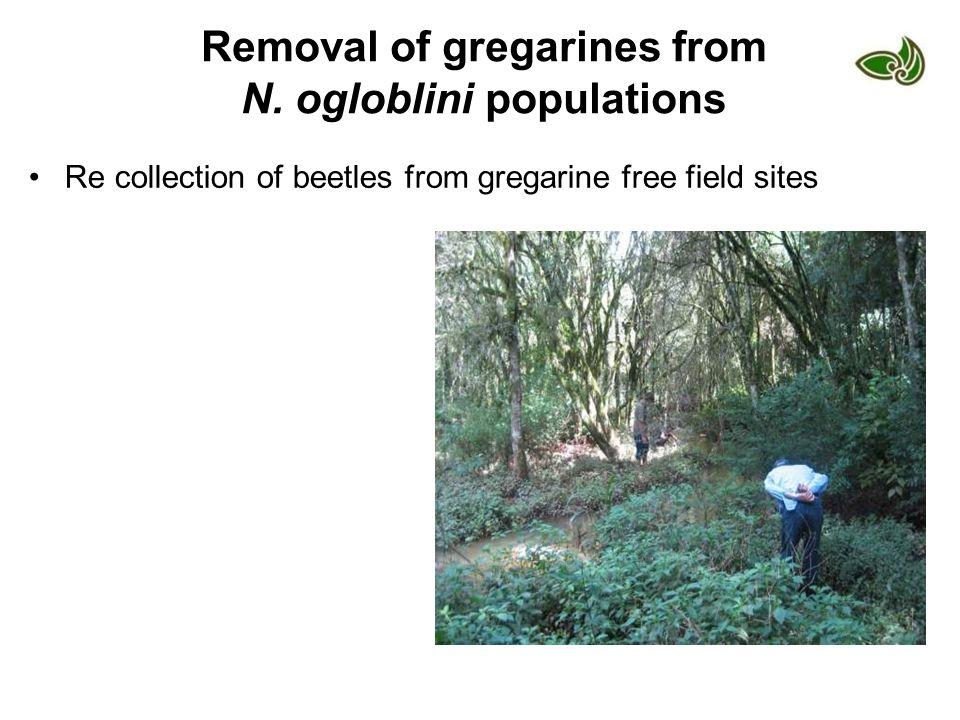 Removal of gregarines from N. ogloblini populations