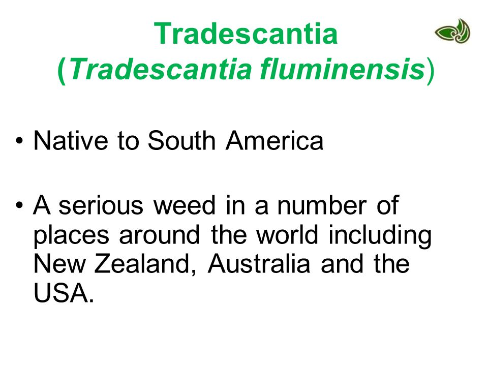 Tradescantia (Tradescantia fluminensis)