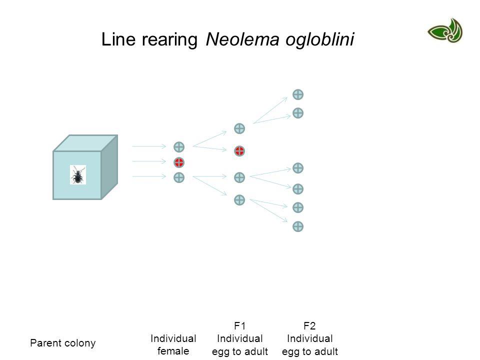 Line rearing Neolema ogloblini