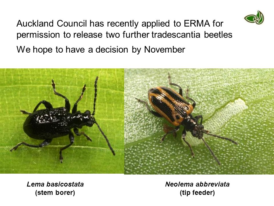 Auckland Council has recently applied to ERMA for permission to release two further tradescantia beetles We hope to have a decision by November