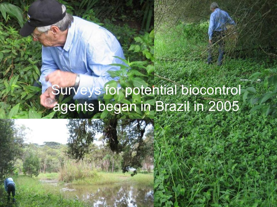 Surveys for potential biocontrol agents began in Brazil in 2005