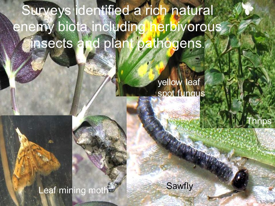 Surveys identified a rich natural enemy biota including herbivorous insects and plant pathogens.