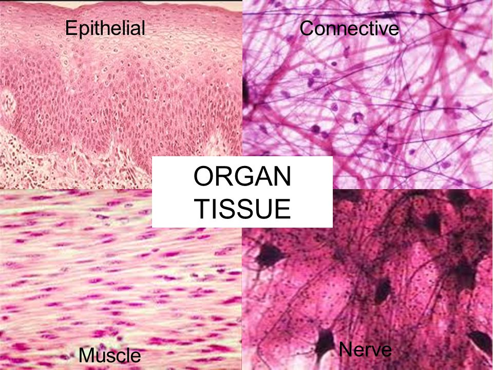 ORGAN TISSUE Epithelial Connective Nerve Muscle