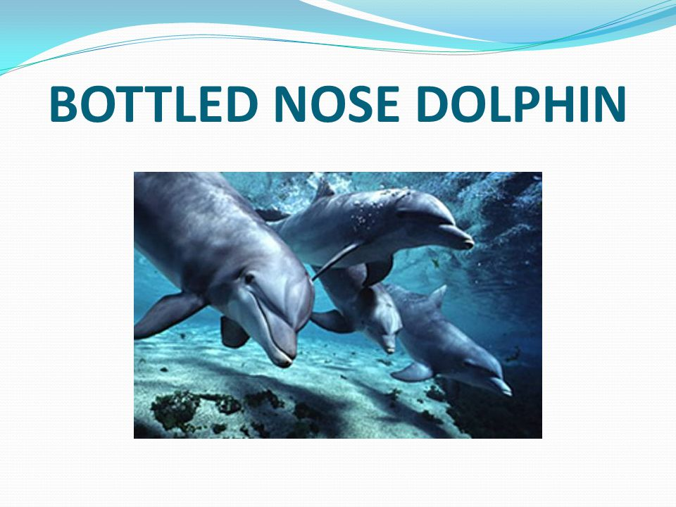 BOTTLED NOSE DOLPHIN