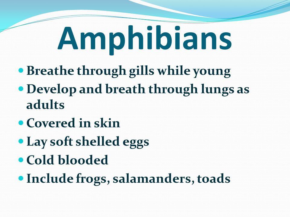 Amphibians Breathe through gills while young