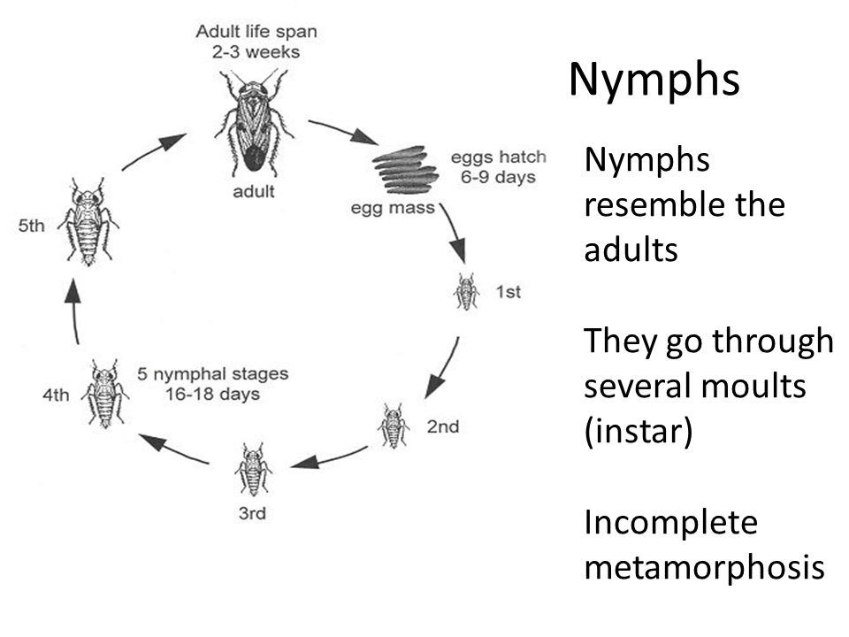Nymphs Nymphs resemble the adults