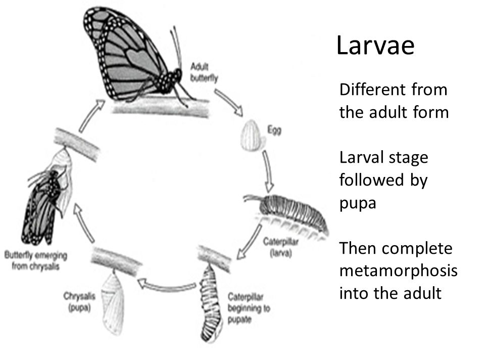 Larvae Different from the adult form Larval stage followed by pupa