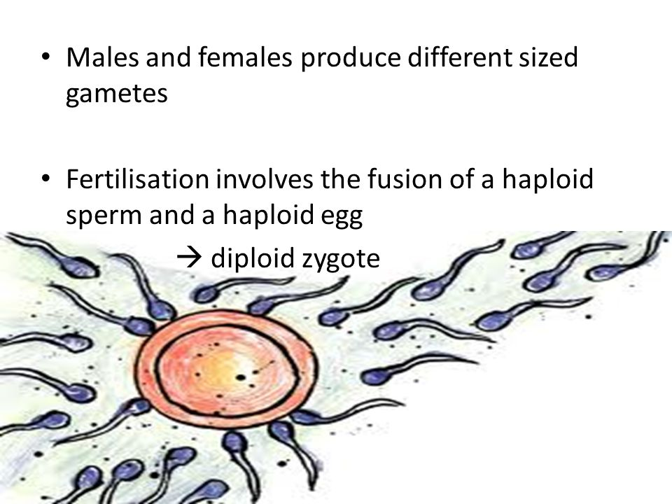 Males and females produce different sized gametes