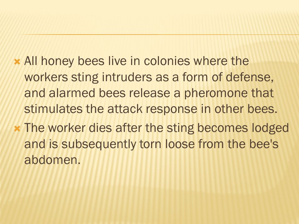 All honey bees live in colonies where the workers sting intruders as a form of defense, and alarmed bees release a pheromone that stimulates the attack response in other bees.