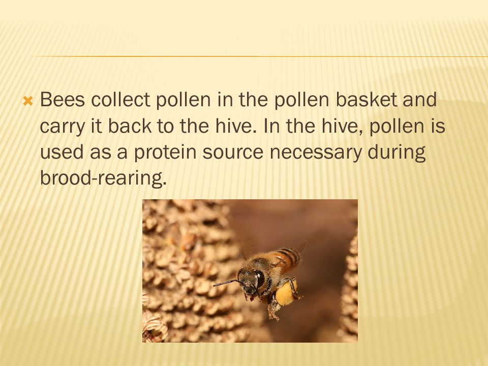 Bees collect pollen in the pollen basket and carry it back to the hive