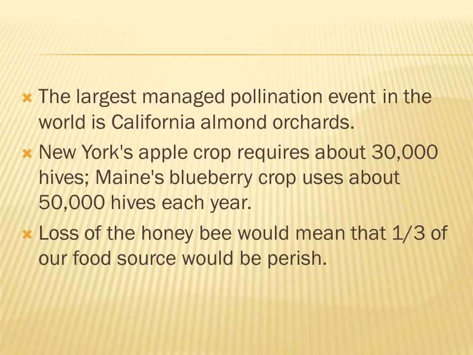 The largest managed pollination event in the world is California almond orchards.