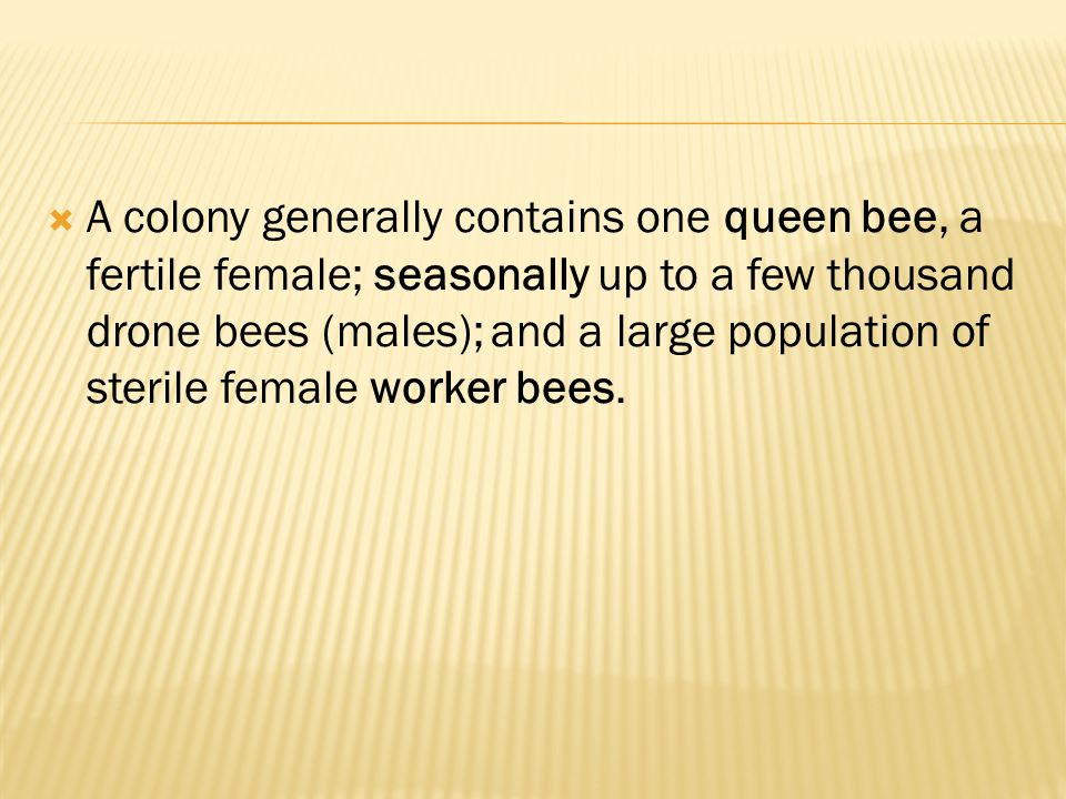 A colony generally contains one queen bee, a fertile female; seasonally up to a few thousand drone bees (males); and a large population of sterile female worker bees.