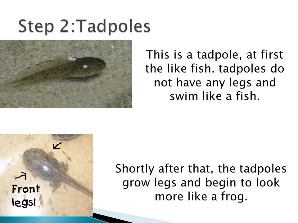 Step 2:Tadpoles This is a tadpole, at first the like fish. tadpoles do not have any legs and swim like a fish.