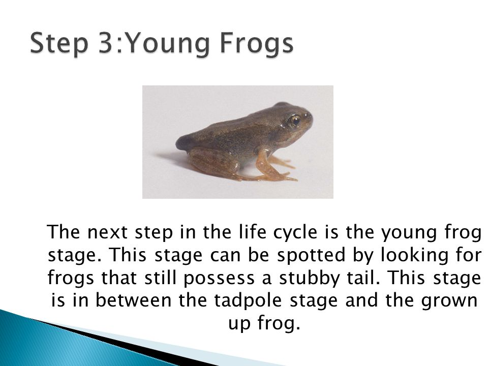 Step 3:Young Frogs
