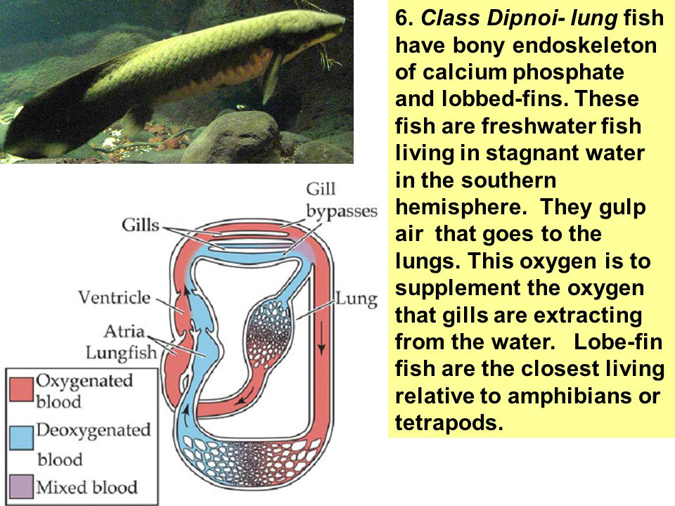 6. Class Dipnoi- lung fish have bony endoskeleton of calcium phosphate and lobbed-fins.