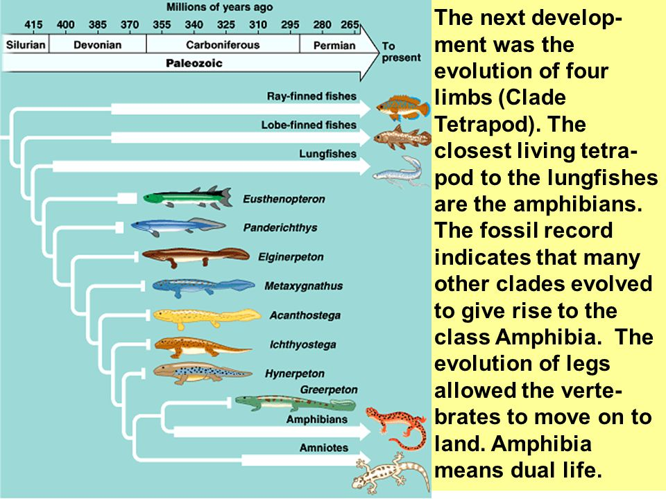 The next develop-ment was the evolution of four limbs (Clade Tetrapod)