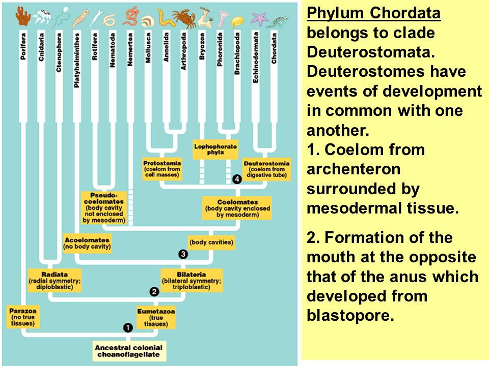 Phylum Chordata belongs to clade Deuterostomata