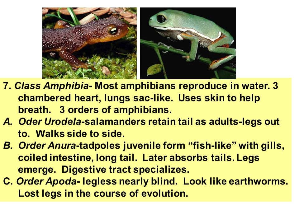 7. Class Amphibia- Most amphibians reproduce in water