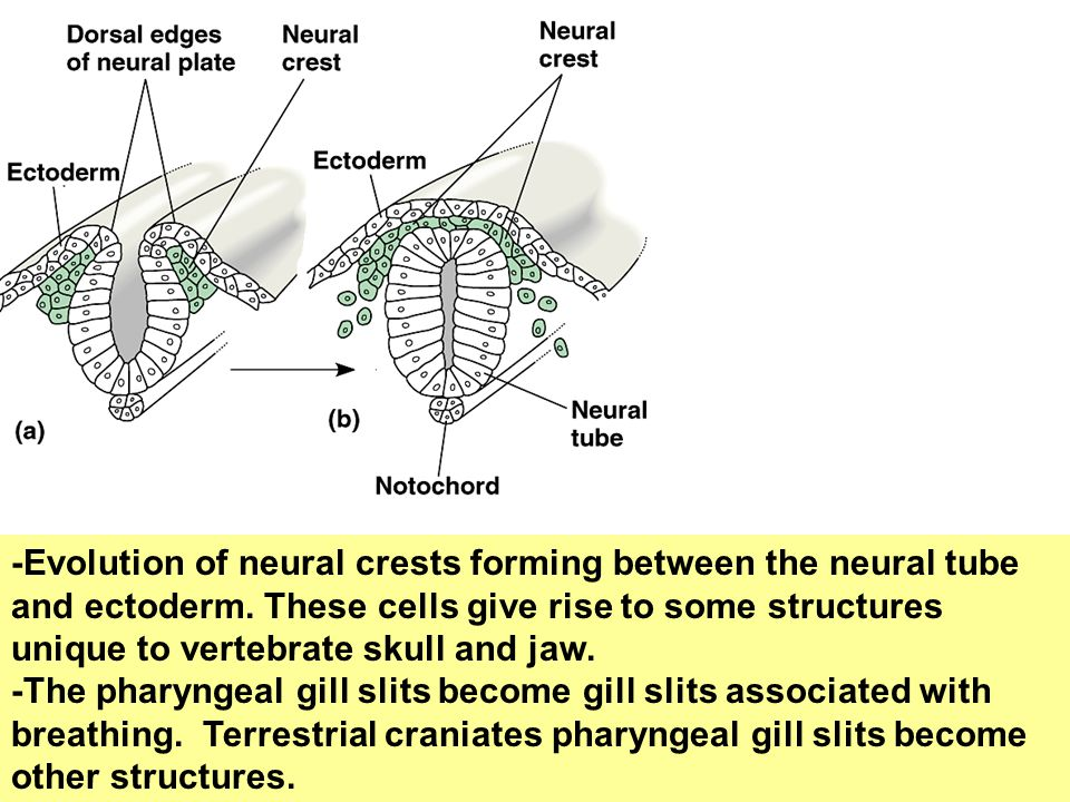 -Evolution of neural crests forming between the neural tube and ectoderm. These cells give rise to some structures unique to vertebrate skull and jaw.