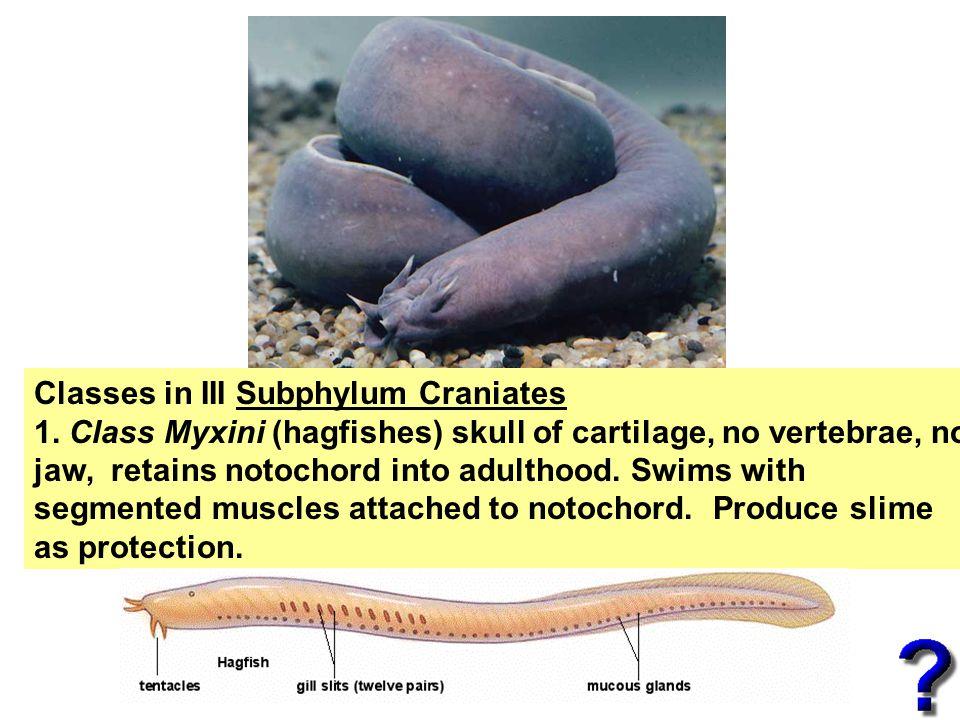 Classes in III Subphylum Craniates