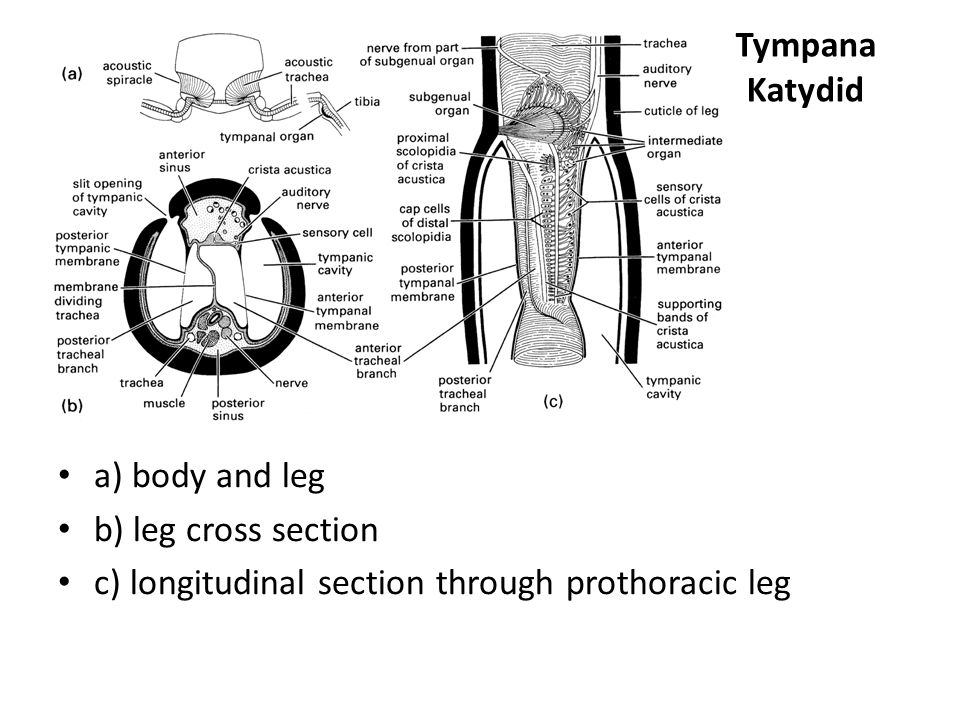 Tympana Katydid a) body and leg. b) leg cross section.