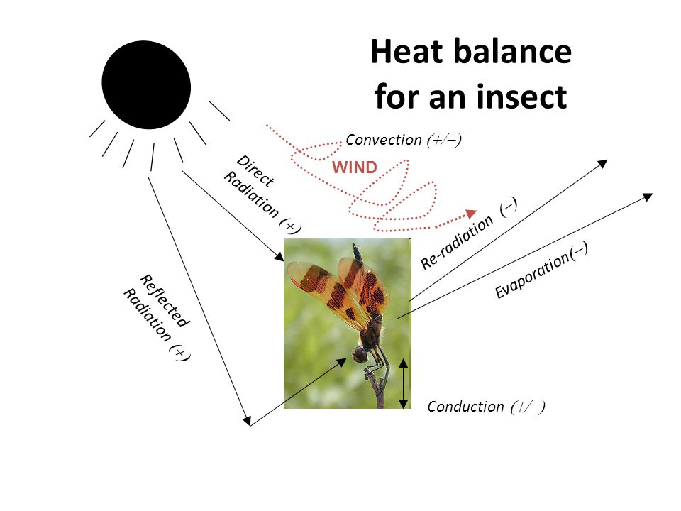 Heat balance for an insect