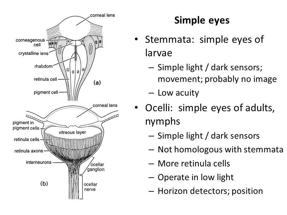 Stemmata: simple eyes of larvae
