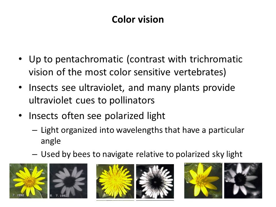 Insects often see polarized light