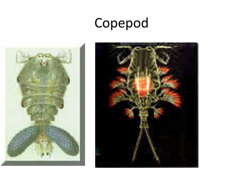 Copepod