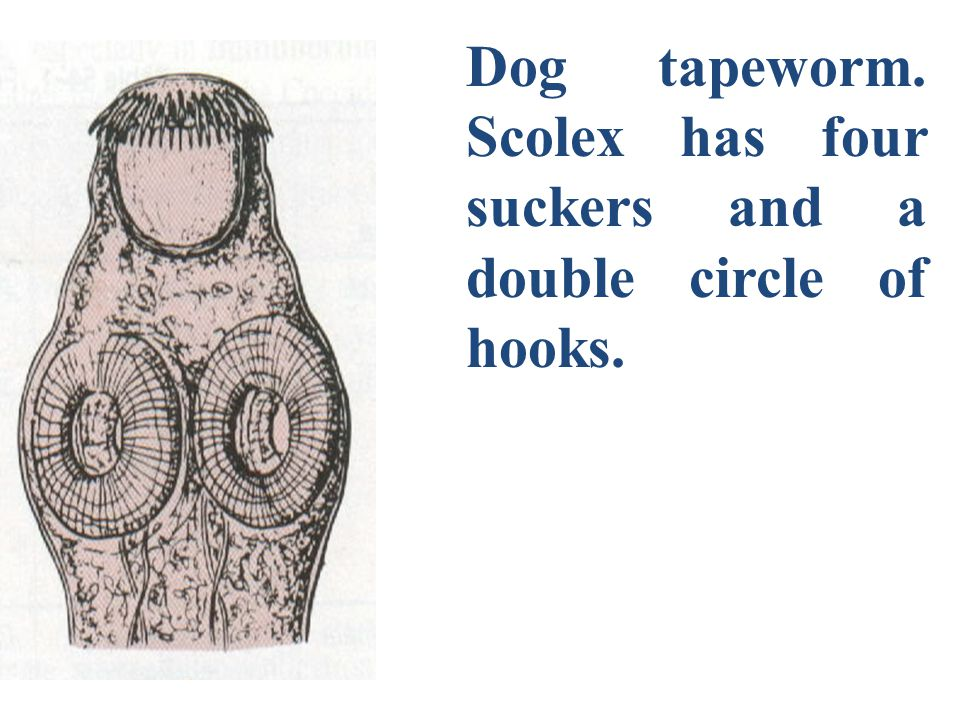Dog tapeworm. Scolex has four suckers and a double circle of hooks.