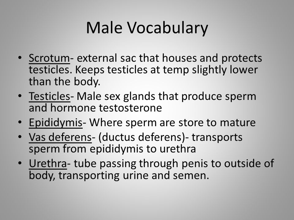 Male Vocabulary Scrotum- external sac that houses and protects testicles. Keeps testicles at temp slightly lower than the body.