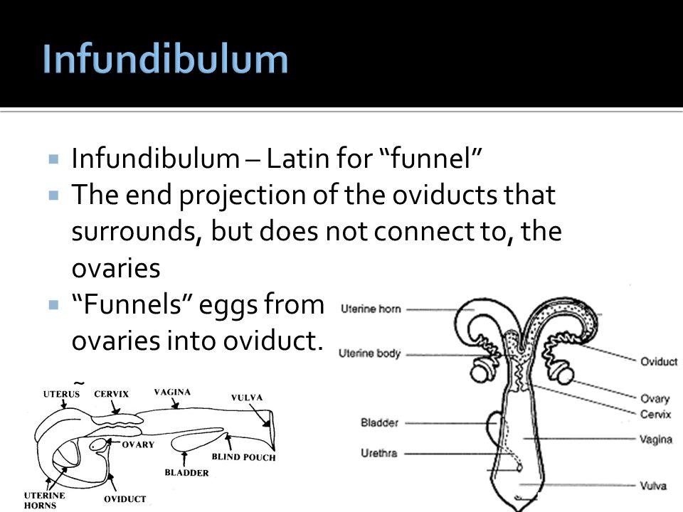 Infundibulum Infundibulum – Latin for funnel