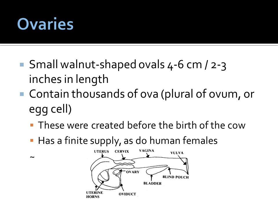 Ovaries Small walnut-shaped ovals 4-6 cm / 2-3 inches in length
