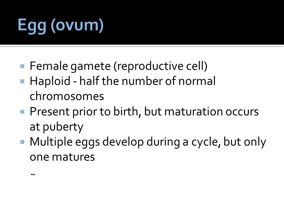 Egg (ovum) Female gamete (reproductive cell)