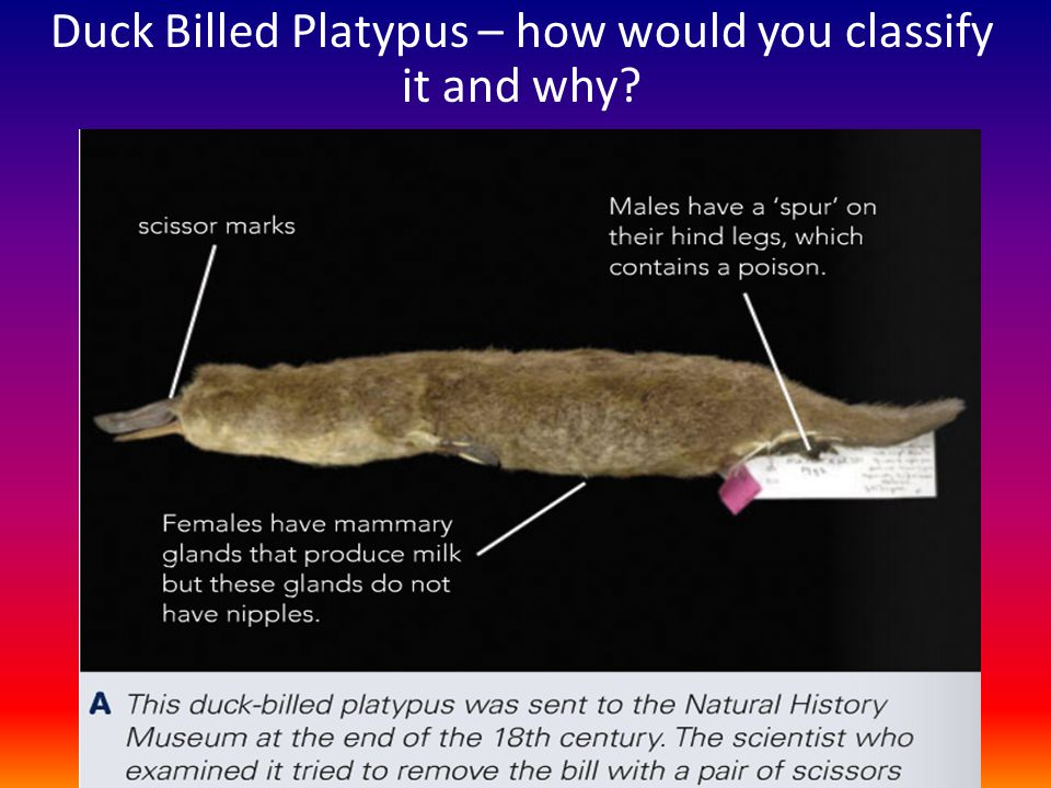 Duck Billed Platypus – how would you classify it and why