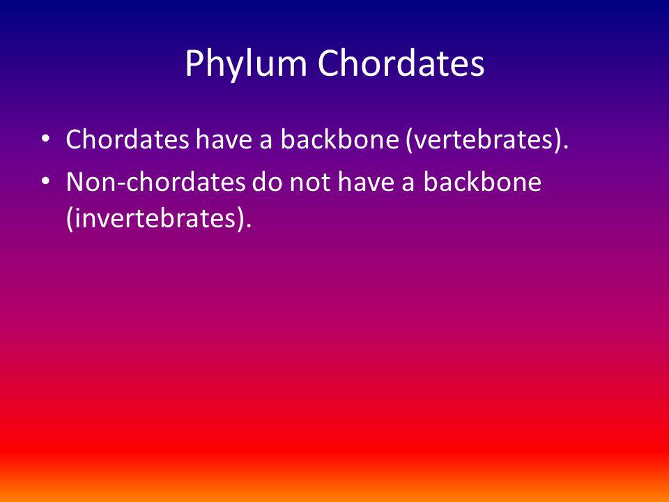 Phylum Chordates Chordates have a backbone (vertebrates).