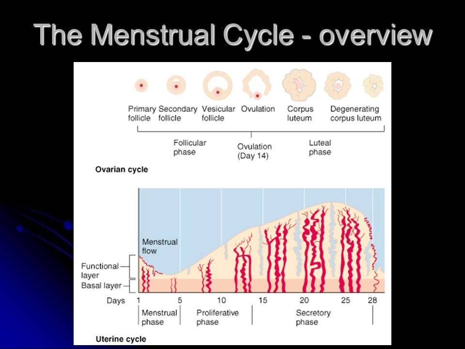 The Menstrual Cycle - overview