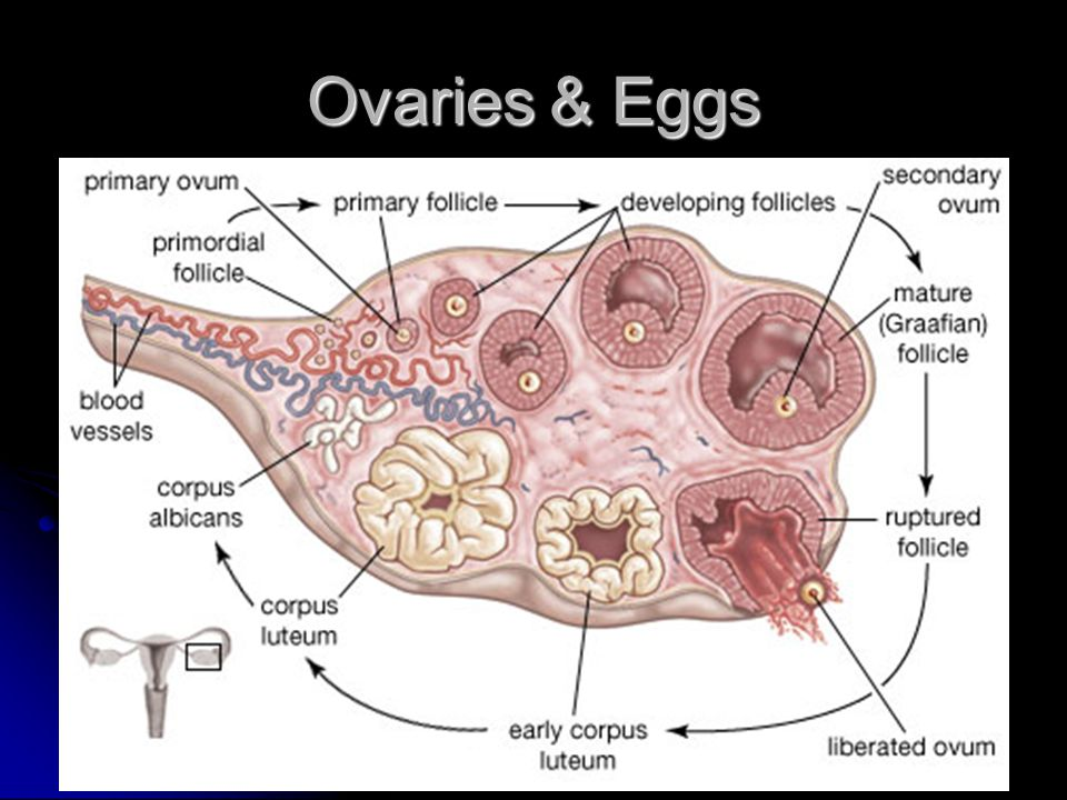 Ovaries & Eggs