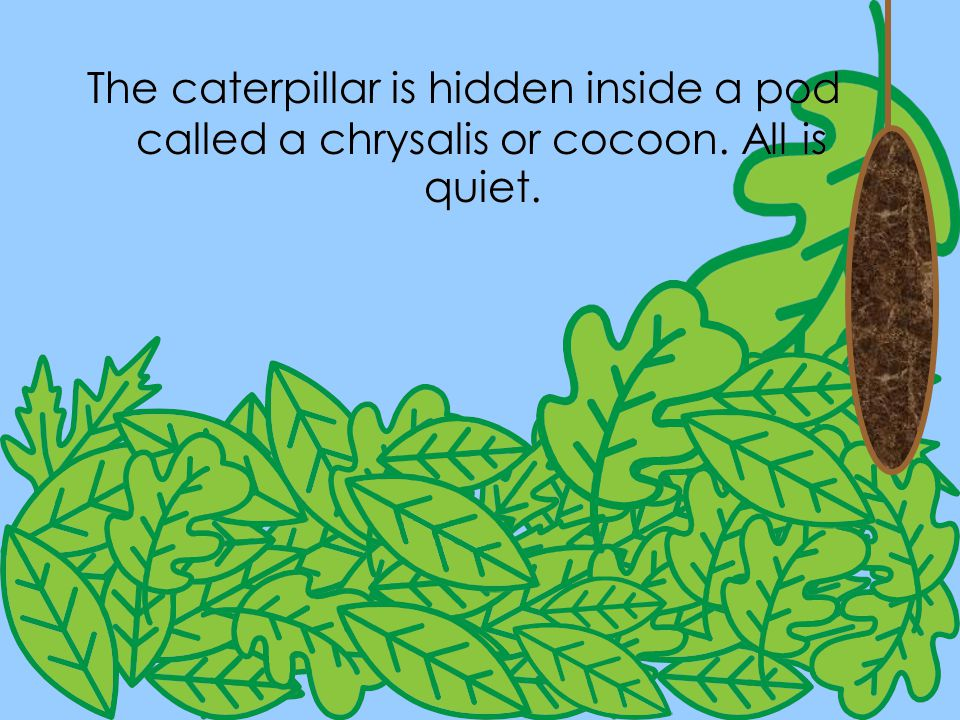 The caterpillar is hidden inside a pod called a chrysalis or cocoon
