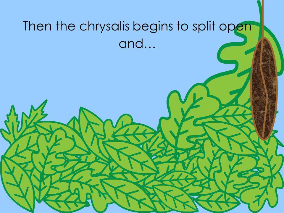 Then the chrysalis begins to split open