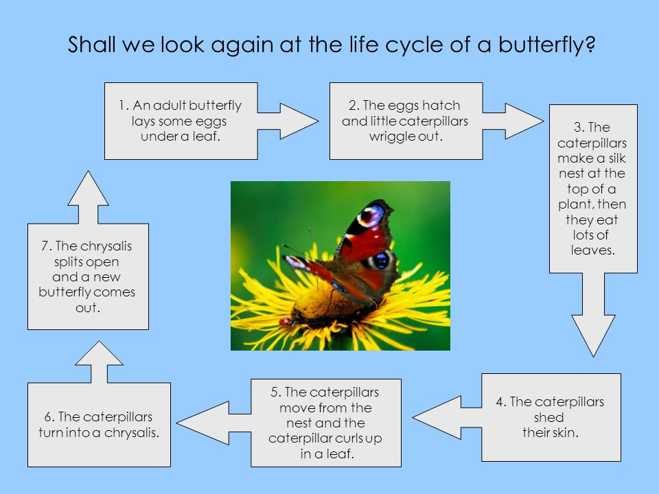Shall we look again at the life cycle of a butterfly