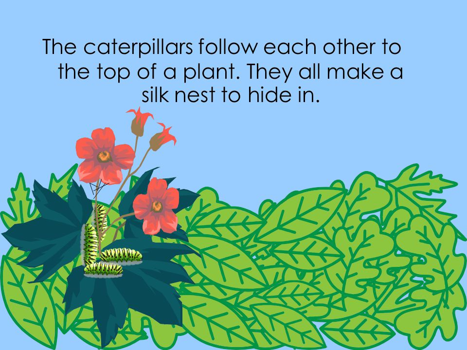 The caterpillars follow each other to the top of a plant