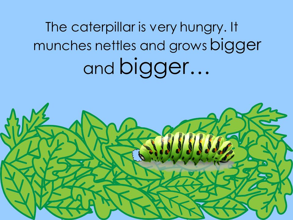 The caterpillar is very hungry