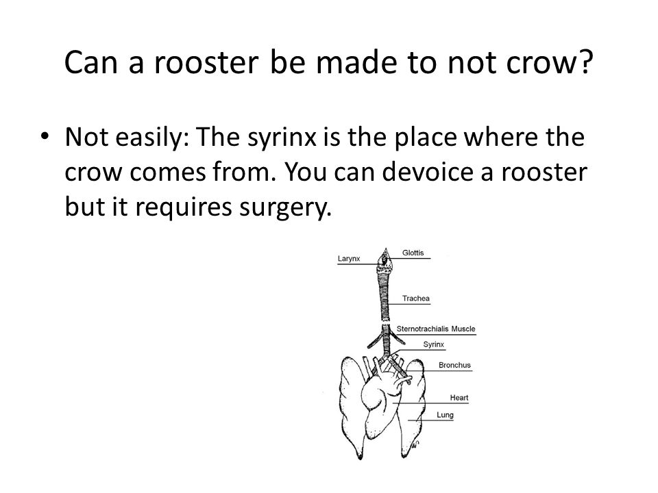 Can a rooster be made to not crow