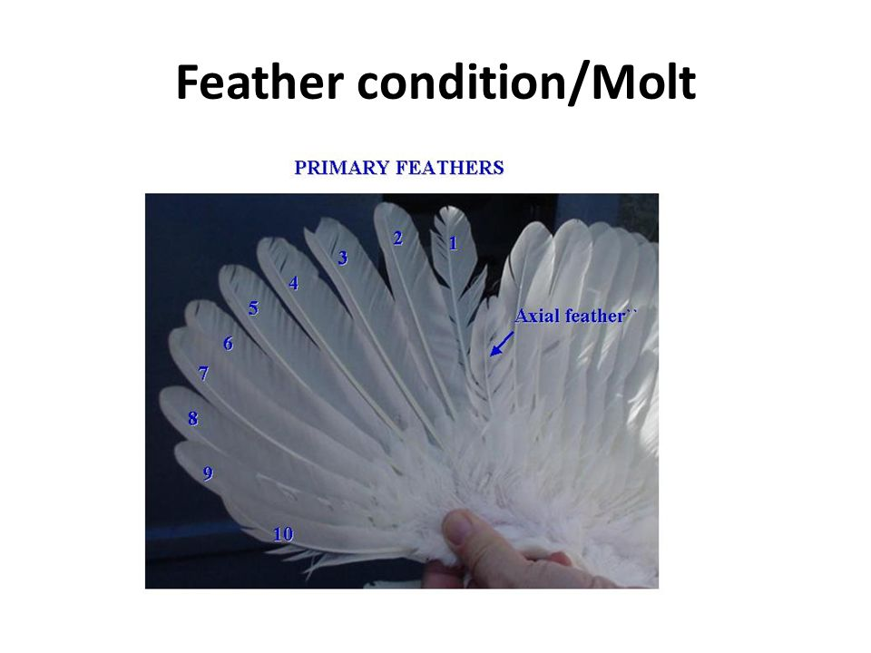 Feather condition/Molt