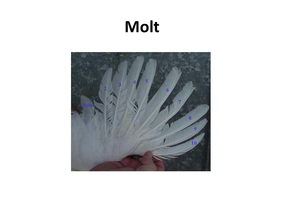 Molt Example of a one-feather molt.